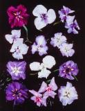 Iris ensata, left to right: 1. Wine Ruffles, 2. Galatea, 3. Returning Tide, 4. Kozasegawa, 5. Ayasegawa, 6. Eternal Femnine, 7. Soubou-no-watari, 8. No 3 from trials, 9. Katy Mendel, 10. Tatsuno-no-aozakura, 11. Yayoir Kane, 12. Natsusugata