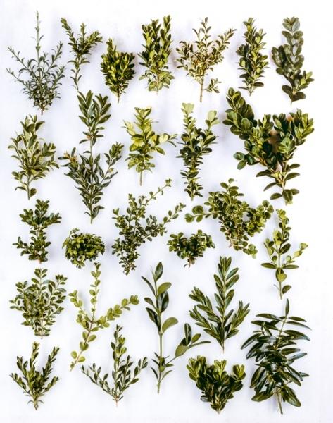 Buxus from left to right: 1. sempervirens 'Myosottidifolia' 2.' Myrtifolia' 3. 'Suffruiticosa' 4. 'Memorial, 5.  'Elegantissima, 6. 'Blauer Heinz' 7. 'Vardar Valley', 8. 'Argentea' syn. 9. 'Angustifolia', 10s. 'Latifolia Maculata', 11. 'Handsworthensis', 12. 'Rotundifolia', 13. microphylla, 14. microphylla 'compacta', 15. microphylla 'Curly Locks', 16. microphylla 'Green Pillow', 17. mycrophylla var. japonica 'Green Jade', 18. microphylla 'Falkner' 19. sinica var. insularis 'Tide Hill', 20. sinica 'Filigree',