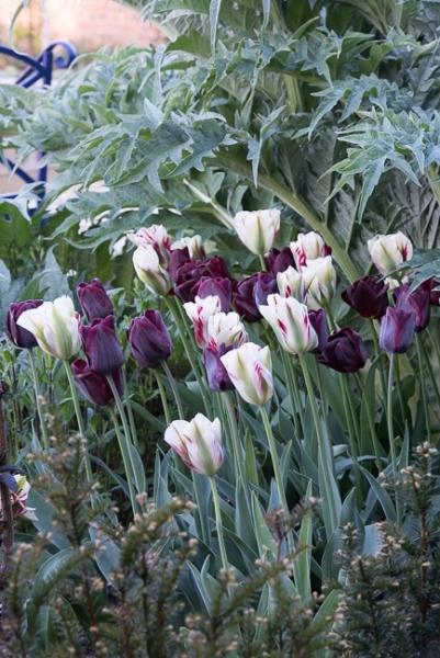 Tulips, Flaming Spring Green and Ronaldo