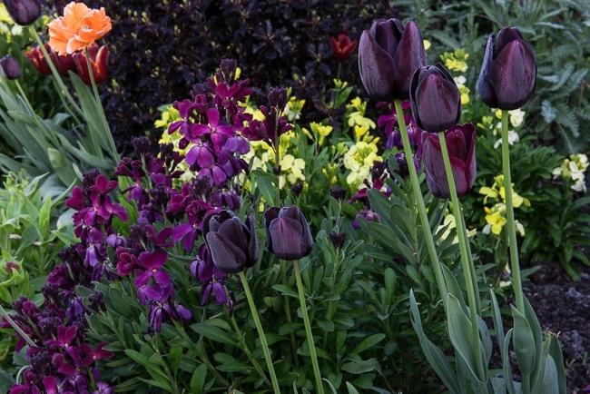 Tulip 'Queen of the Night' and Erysimum cheiri Fi Hybrid Sunset Dark Purple