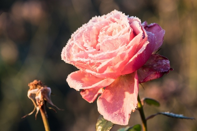 Rose with frosted petals