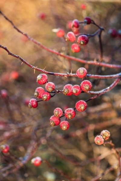 Rosehips frosted in winter