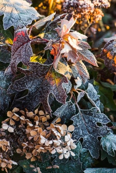 Hydrangea quercifolia covered in frost