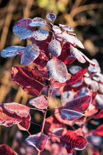 Cotinus coggyria covered in frost