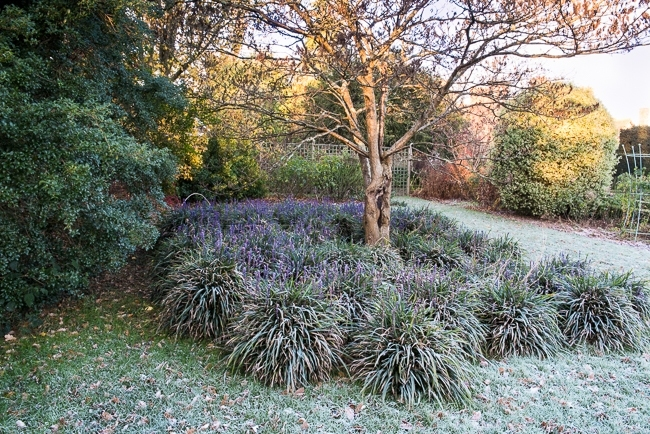 Lirope muscari aroud the base of a small tree covered in frost
