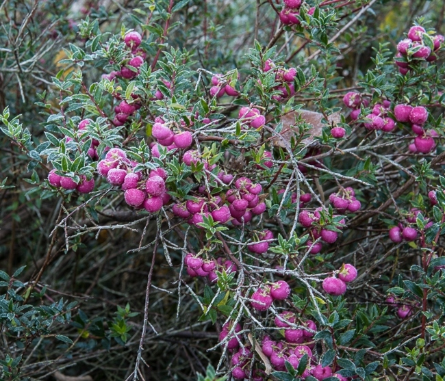 Gaultheria mucronata with frost covered berries