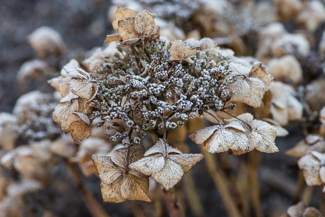 Hydrangea coverd in frost