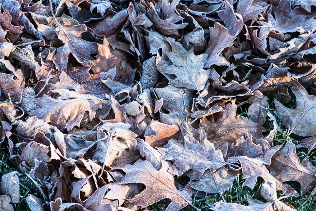 Red oak leaves covered in frost