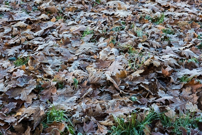 Oak leaves covered in frost