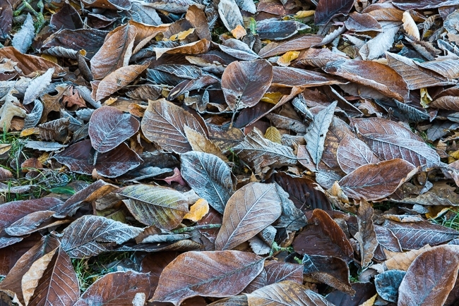 Magnolia leaves covered in frost