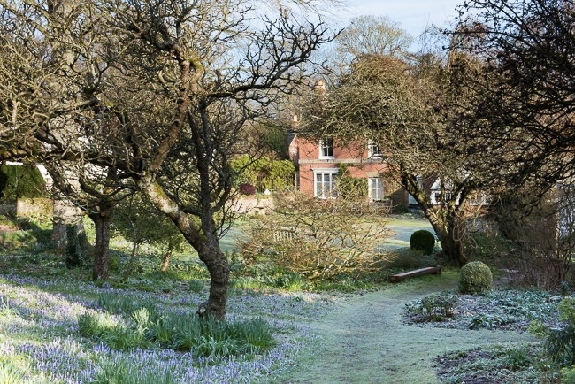 Crocus tommasinianus and other early bulbs in the apple orchard, house in background