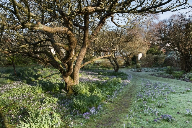 Pathways running through the orchard with Crocus tommasinianus and other early bulbs either side, house in background