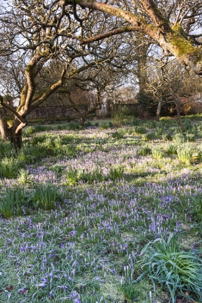 Crocus tommasinianus and other early bulbs in the apple orchard looking towards the wild garden