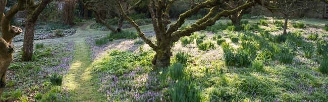 Sunlight breaking through the apple trees with Crocus tommasinianus and other early bulbs divided by pathways in the orchard