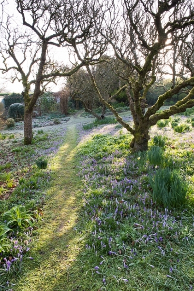 Sunlight breaking through the apple trees with Crocus tommasinianus and other early bulbs in the orchard