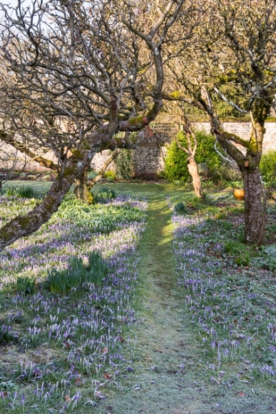 Crocus tommasinianus and other early bulbs in the apple orchard,