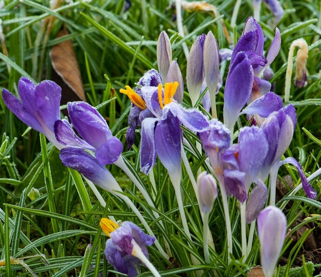 Crocus tommasinianus covered in frost