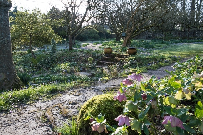 Hellebores in foreground with a ground cover of crocus in orchard looking towards the wild garden