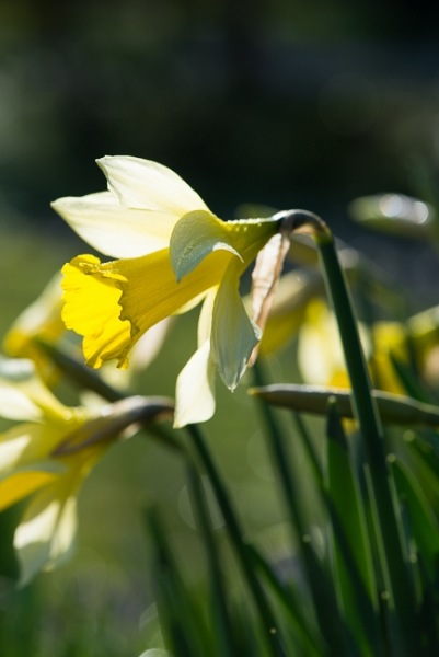 Early flowering narcissus