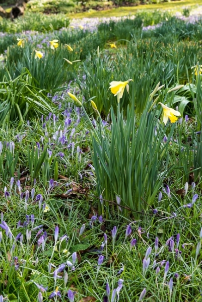 Early flowering narcissus and crocus tommasinianus
