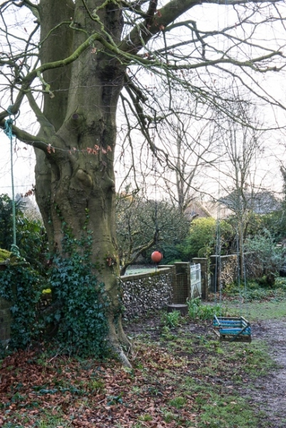 Beech tree in the wild garden with various rope swings attached