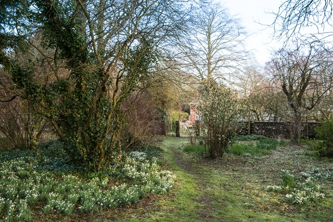 Snowdrops beside a pathway leading through the wild garden towards the house