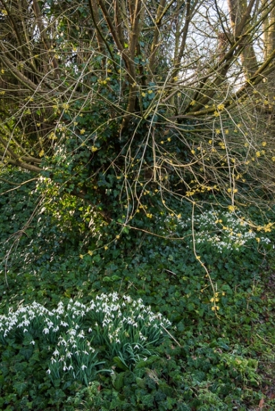 Cornus mas with a groundcover of snowdrops and ivy in the wild garden