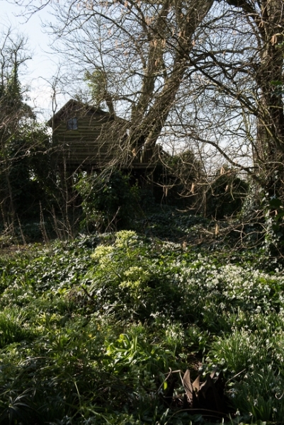 Snowdrops and hellebores with tree house in background