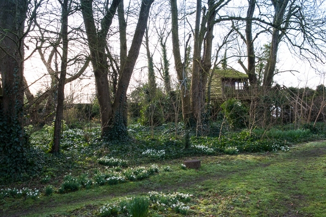 Woodland ground cover of snowdrops  and ivy